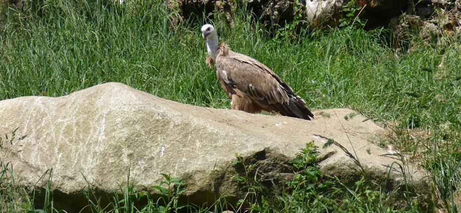 L'aigle royal dans les Pyrénées