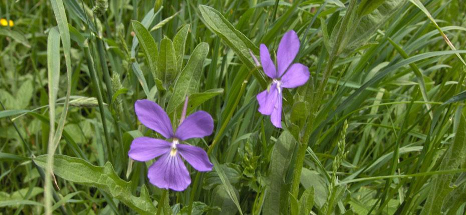 La flore des Hautes Pyrénées
